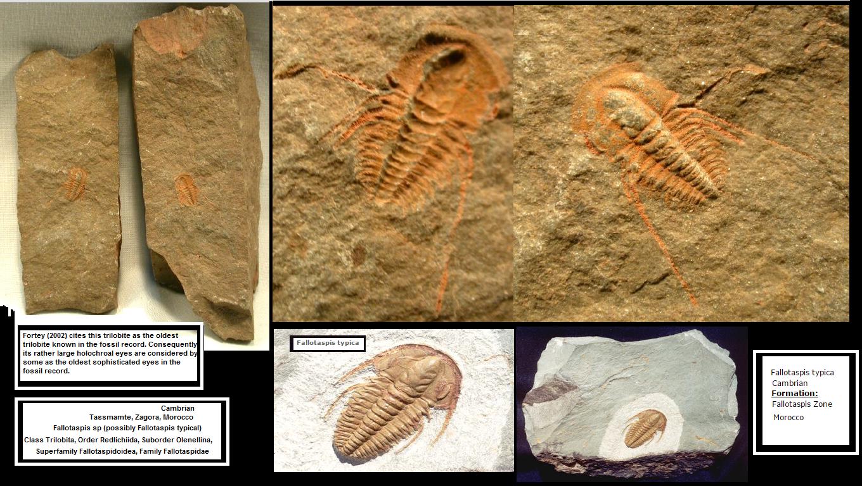 Fallotaspis typica