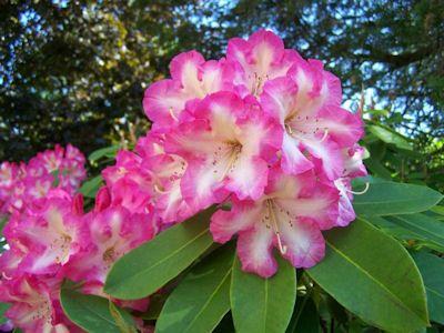Hirsutum Info Rhododendron Hybrids X2f Cultivars 39 Consolini 39 S Windmill 39 Rhododendron Hybrids Flowers