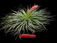 Tillandsia Species JR stricta X geminiflora