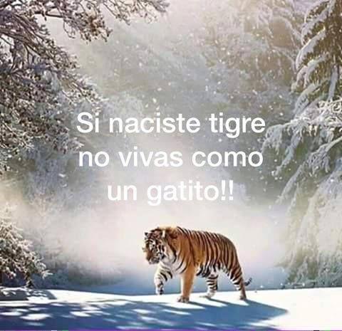 Si Naciste Tigre No Vivas Como Gatito Tigres Frases