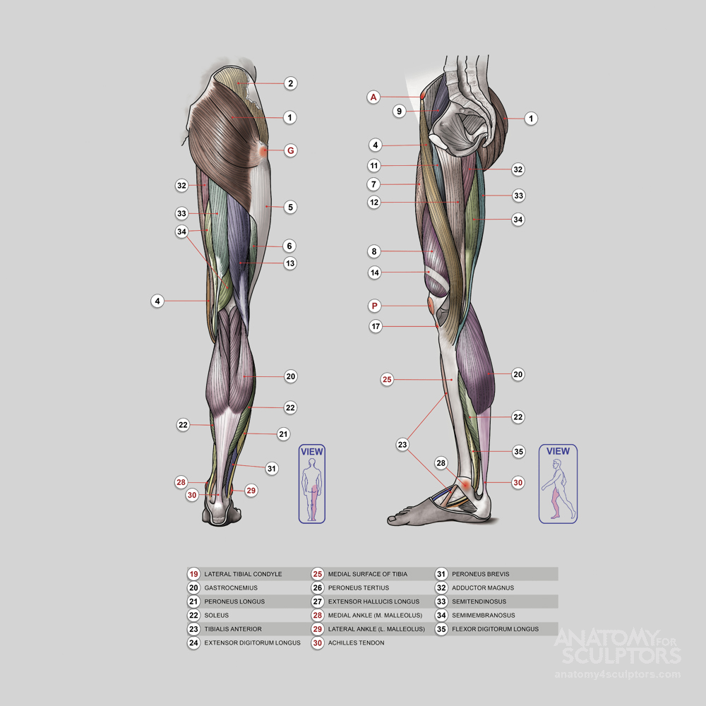 https://www.anatomy4sculptors.com/anatomy.php?menu=196 | Tutorials ...