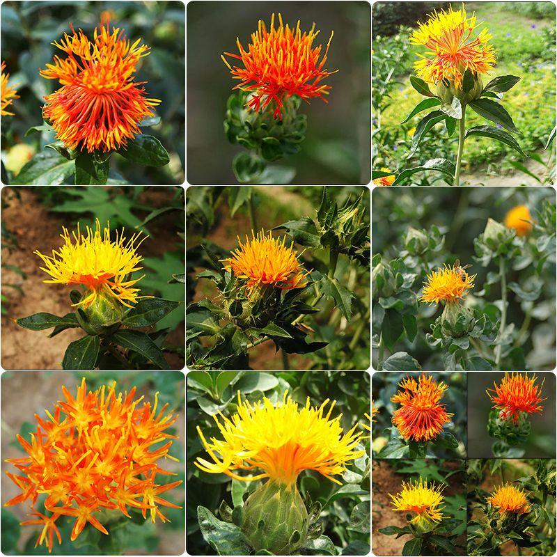 40x Saffron Carthamus Tinctorius Flower Seeds Chinese Medicine Saffron Safflower Flower Seeds Safflower Seeds
