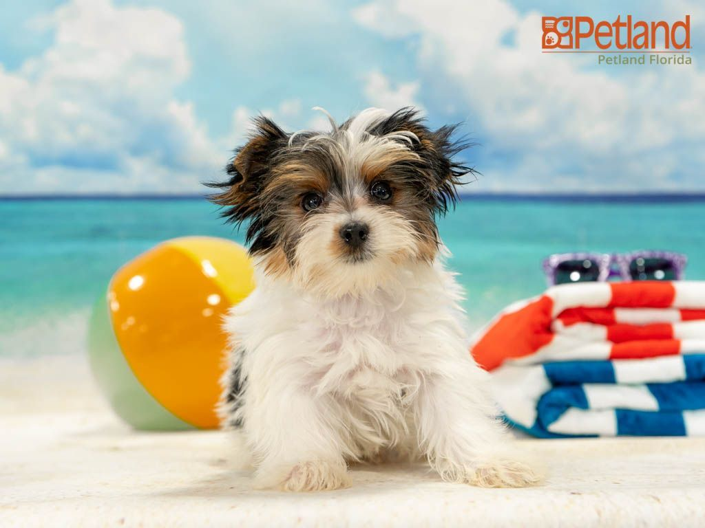 Petland Florida Has Yorkie Puppies For Sale Check Out All Our Available Puppies Yorkie Puppy Doglover In 2020 Yorkie Puppy For Sale Puppy Friends Yorkie Puppy