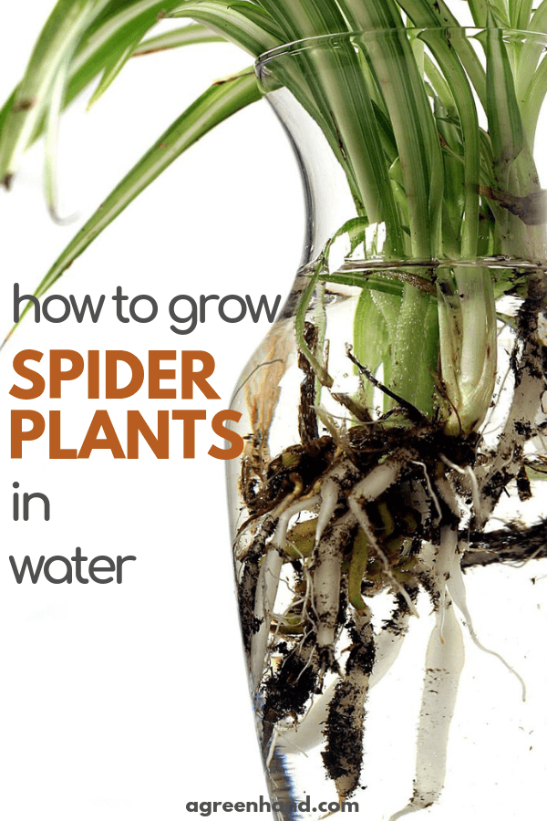 How To Grow Spider Plants In Water Water Plants Plants Grown In Water Water Plants Indoor
