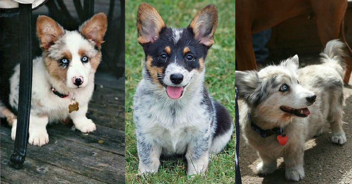 25 Unreal Corgi Dog Cross Breeds You Ve Got To See To Believe