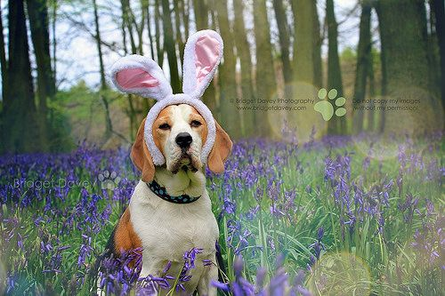 Happy Easter Porthos Beagle At Bluebell Woods Beagle Beagle