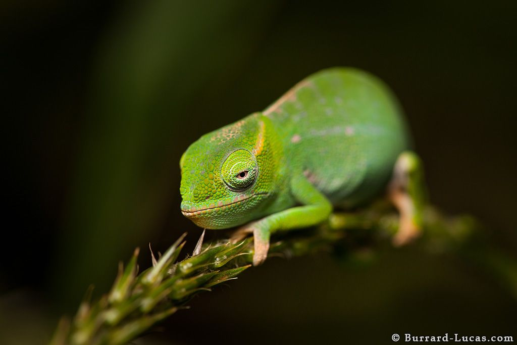 A small Petters Chameleon, photographed at night in Amber ...