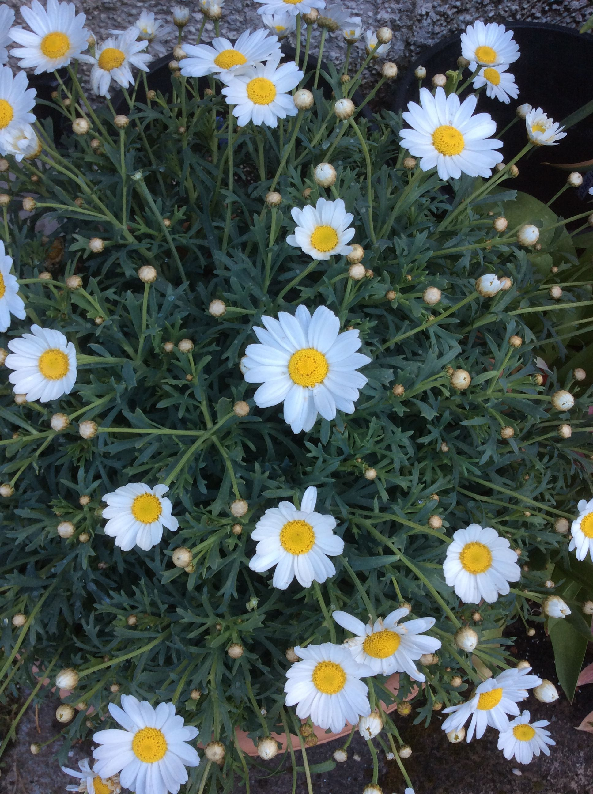 A Gorgeous Marguerite Or Felicia Pretty White Daisy Like Flowers