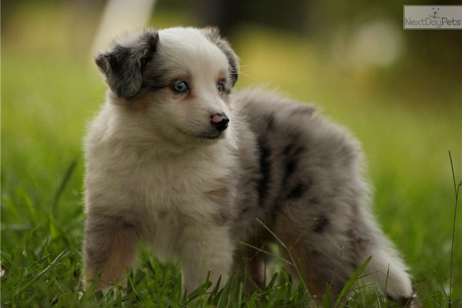 Miniature Australian Shepherd Puppy For Sale Near Greensboro