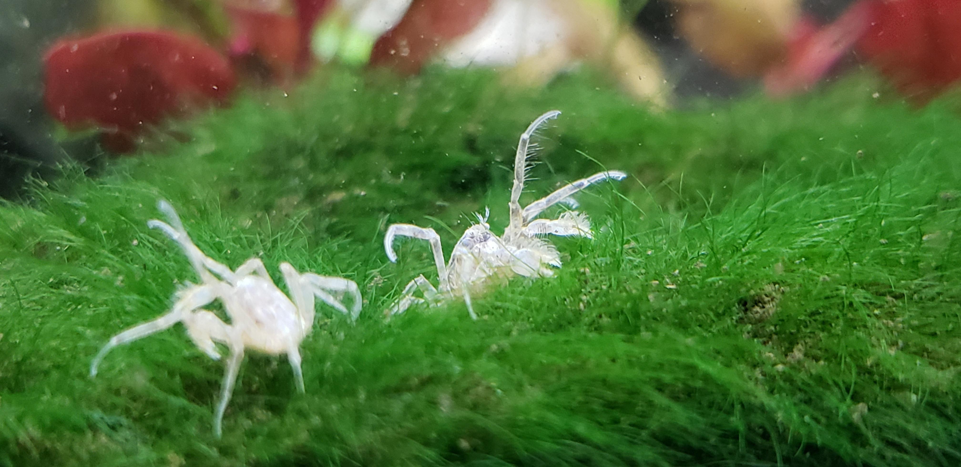 Thai Micro Crab Smallest Known Fully Aquatic Freshwater Crab In 2020 Growing Organic Food Grow Organic Organic Plants