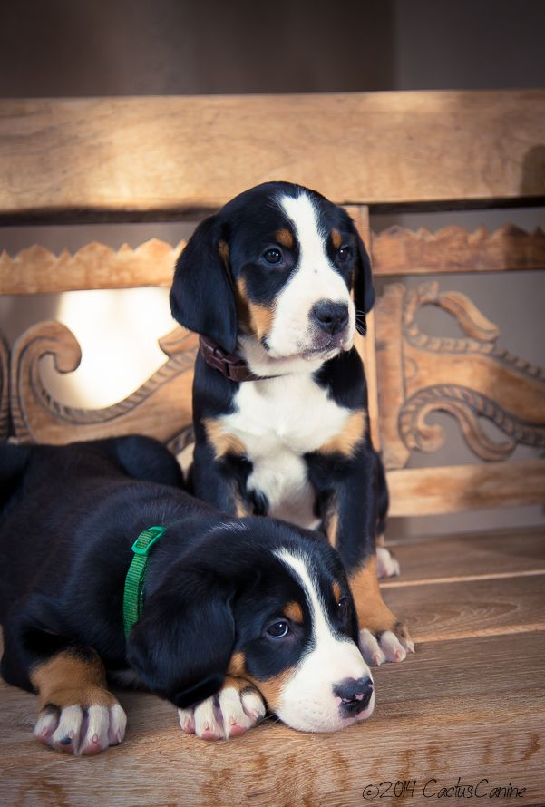 Swiss Mountain Dog Puppies at seven weeks! | Cute cats and ...