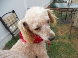 Gretel Is An Adoptable Poodle Dog In Martinsburg Wv Please