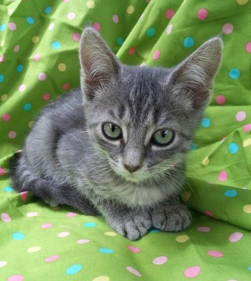 Adopt Mason On Kitten Adoption Cat Adoption Grey Tabby Kittens