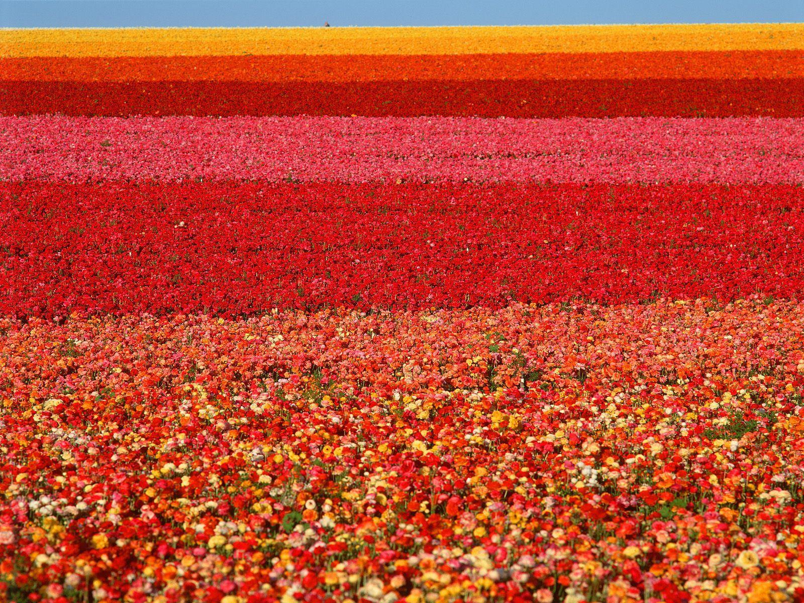 field of ranunculus, san diego