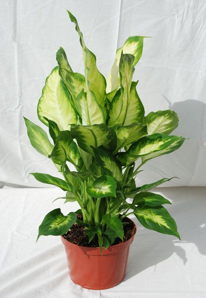 foothill tropicals inc indoor tropical house plants - Tropical House Plants