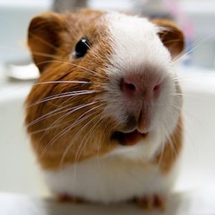 guinea pig behavior guide