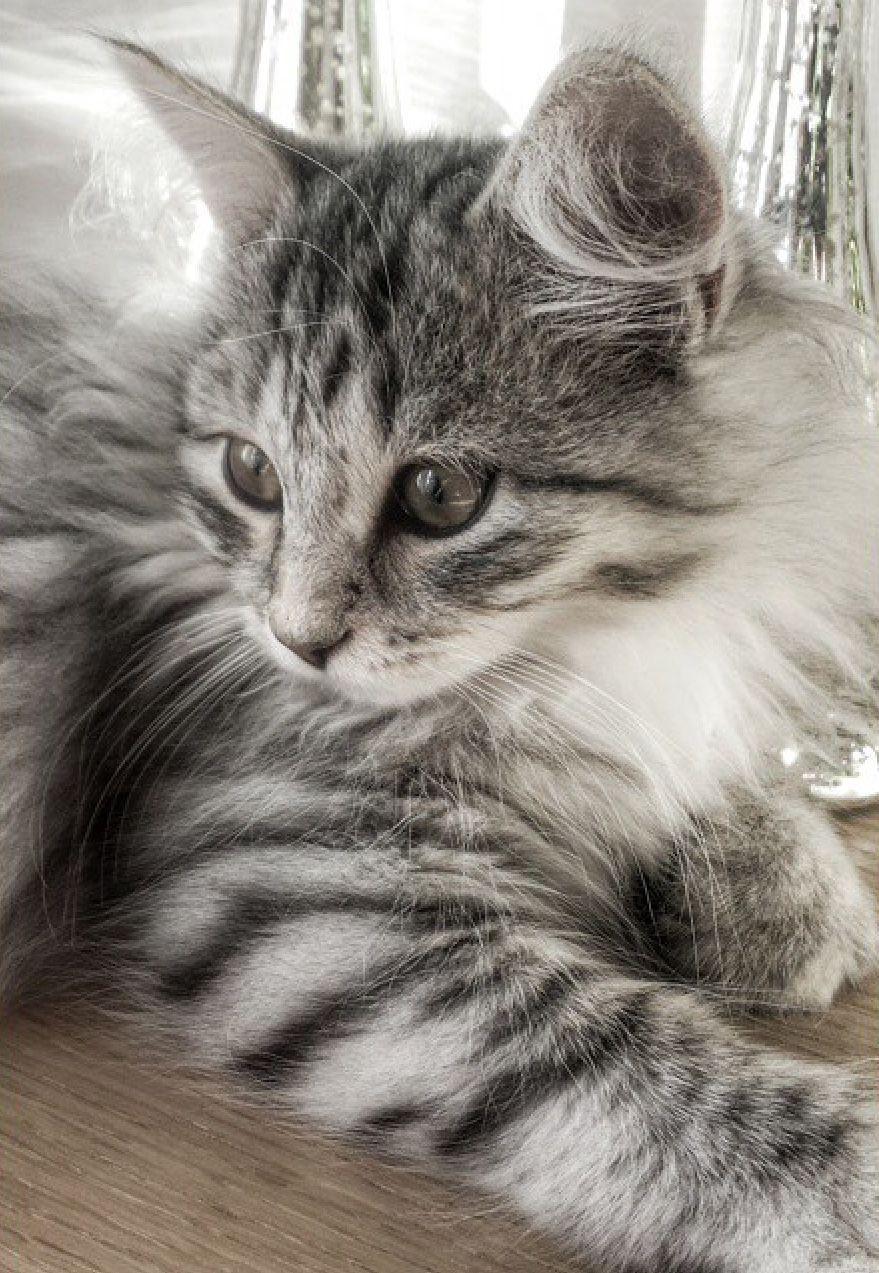 My sweet Sibirian cat, Penny❤️