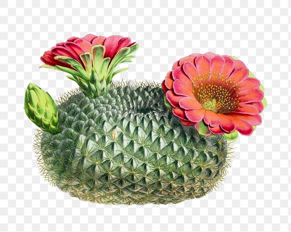 Download Premium Png Of Hand Drawn Lobivia Acanthoplegma Cactus Plant Cactus Plants How To Draw Hands Plant Design
