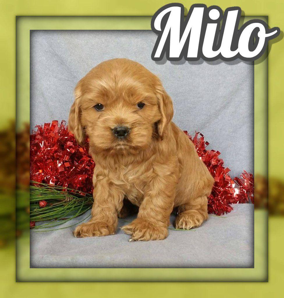 Milo Male Cockapoo 1095 Cockapoo, Cockapoo puppies for
