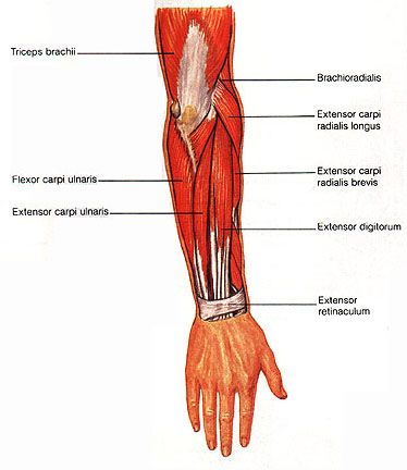 The flexor carpi ulnaris (fcu) muscle is a muscle of the
