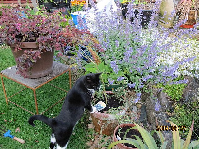 How to Grow and Dry Catnip for Your Cat Plants, Plants