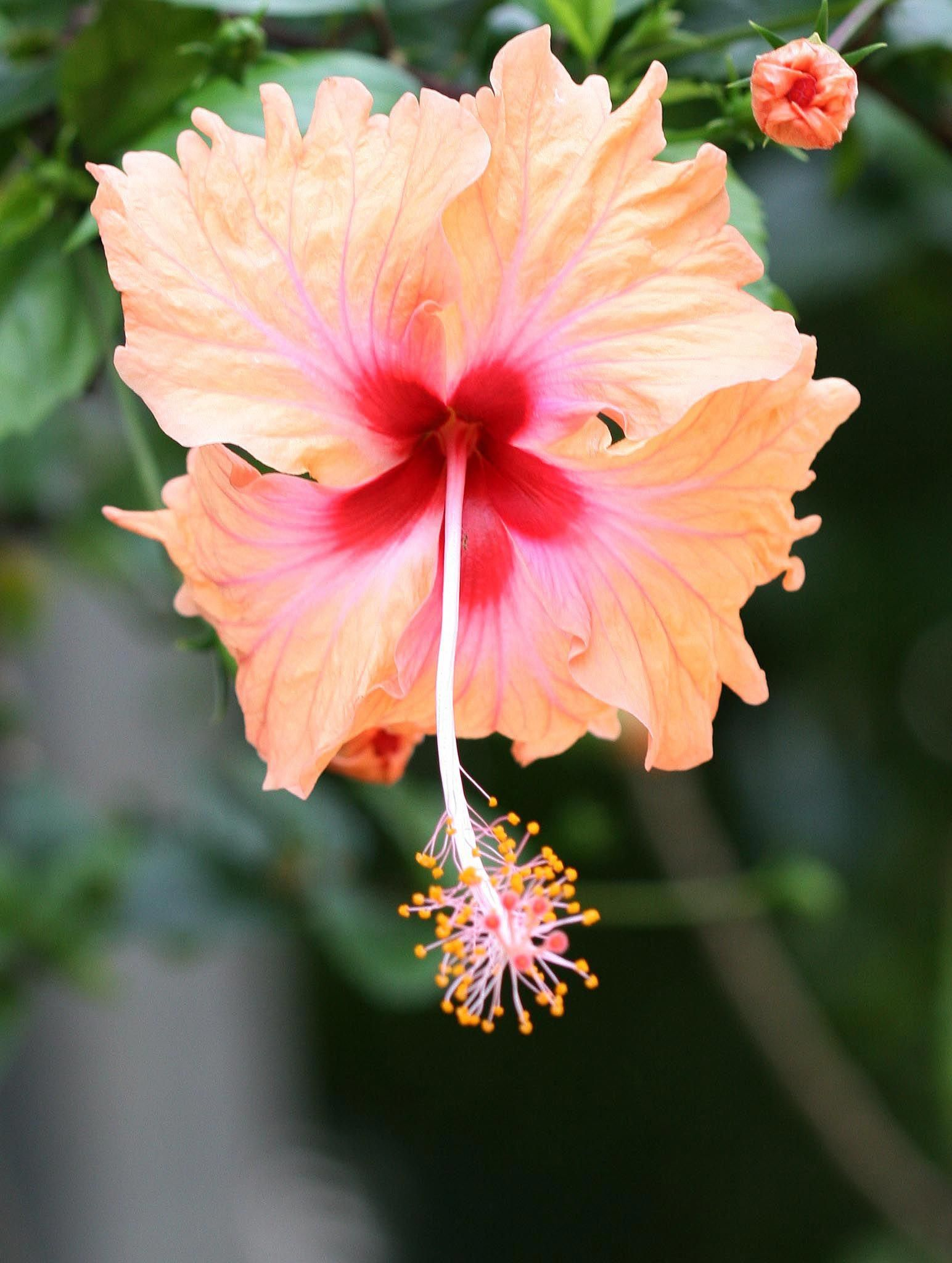 Name All Types Flowers The Different Species Of Hibiscus Flowers