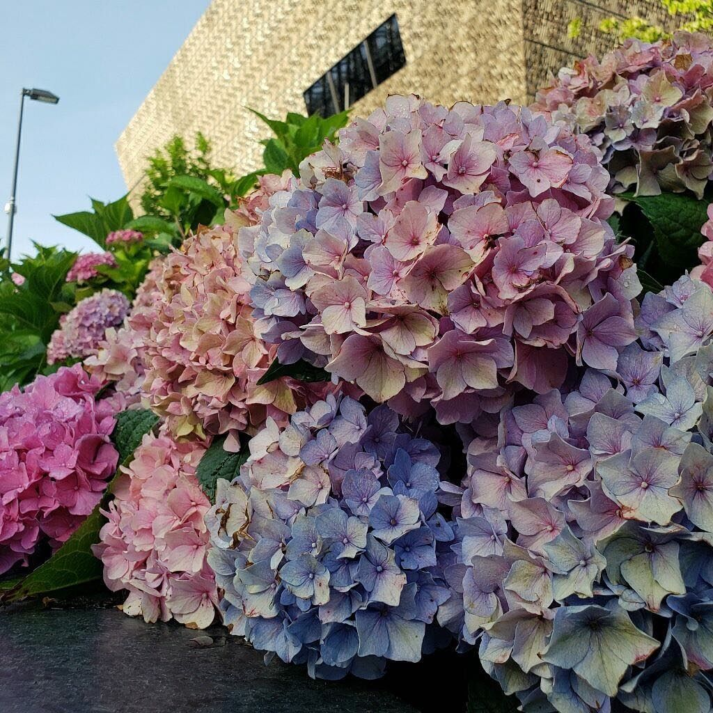 The Colors Of The Hydrangeas Hydrangea Macrophylla At Nmaahc Gardens Are Determined By The Ph Of The So Hydrangea Macrophylla Hydrangea Beautiful Hydrangeas