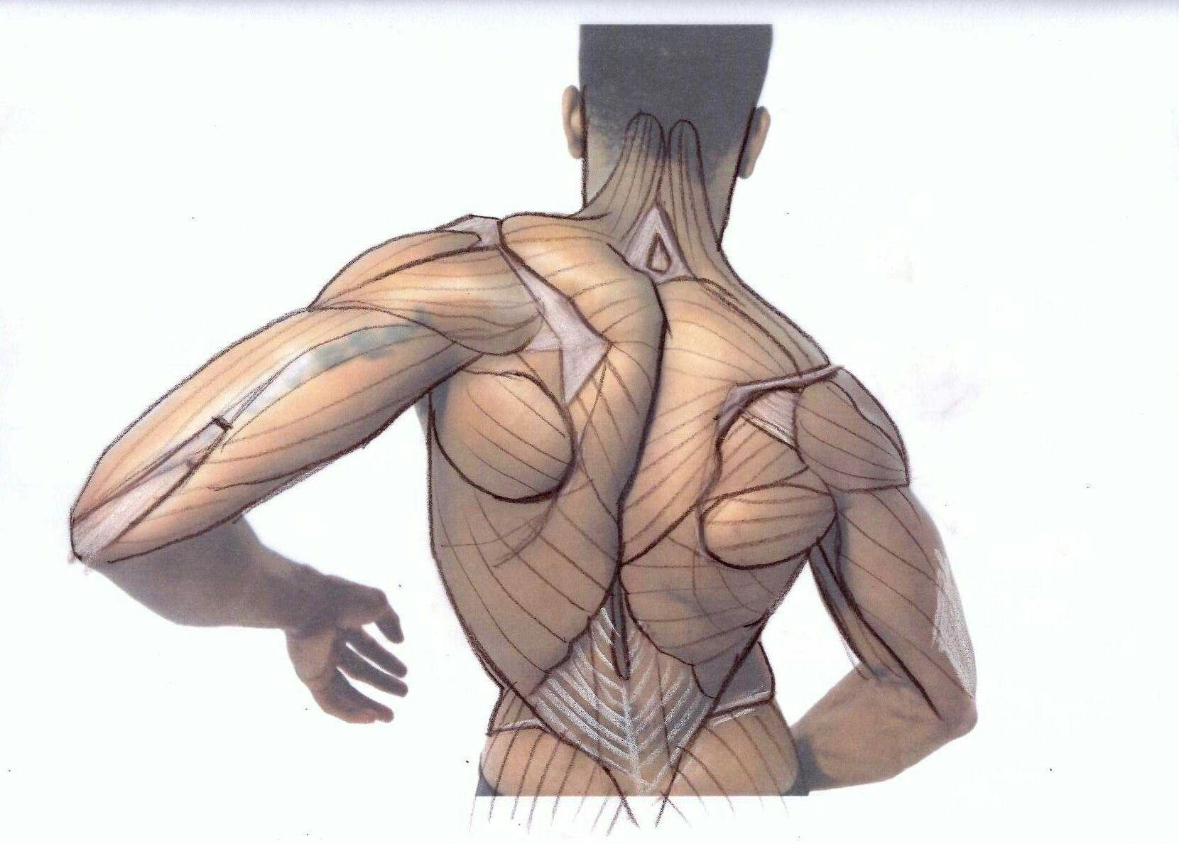 Pin de Alejandro Sanchez en anatomy | Pinterest | Anatomía, Músculos ...