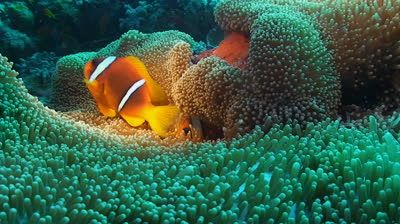 Pin On Clownfish In Anemones