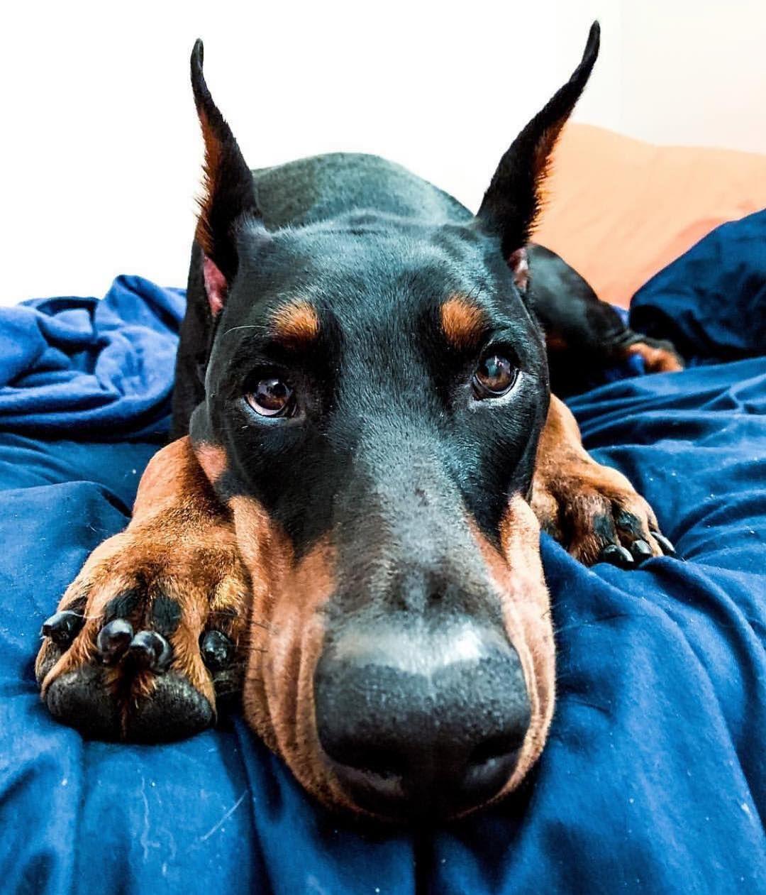 Easiest Dog Breed To House Train Doberman Pinscher Doberman