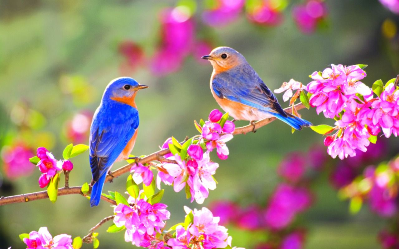 Spring Blue Birds. [Desktop wallpaper 1280x800] in 2020