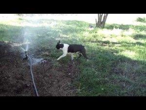 Doc the Boston Terrier & the Sprinkler (Video) | Boston Terrier Dogs