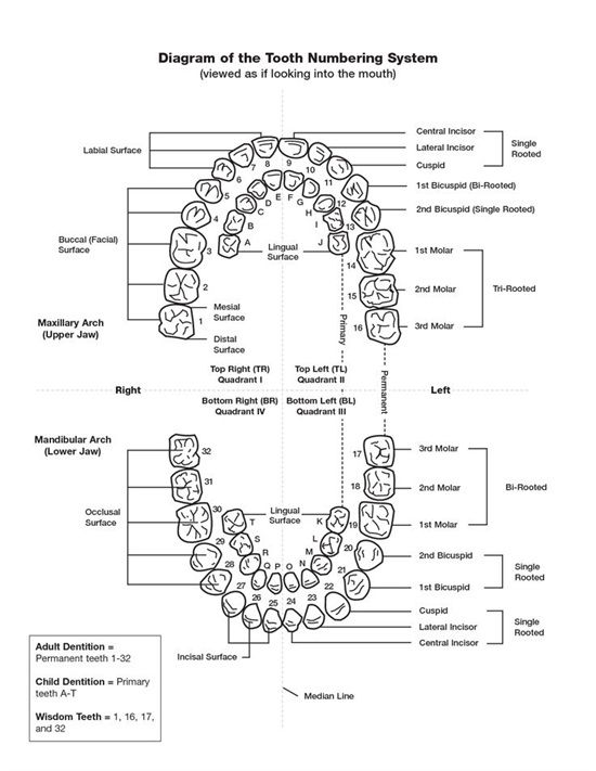 Dentaltown Diagram Of The Tooth Numbering System Viewed As If