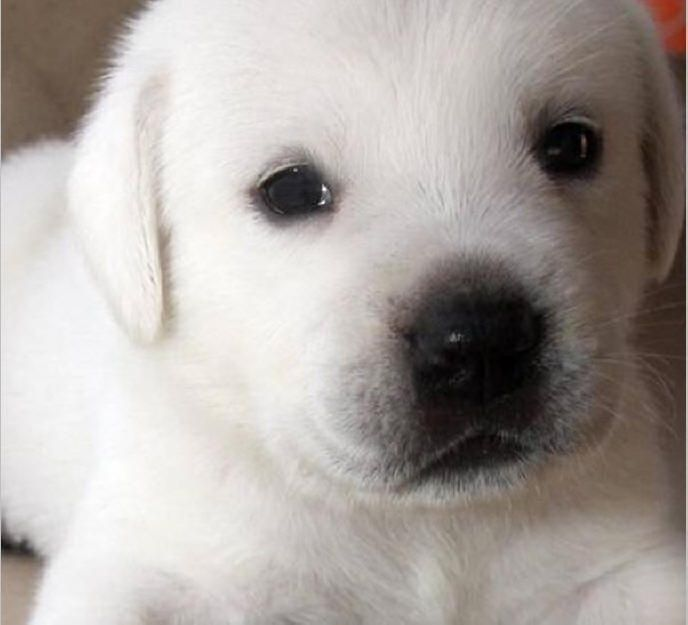 Labs Pups Labs To Love English Labradors Breeder Yellow Labs Black