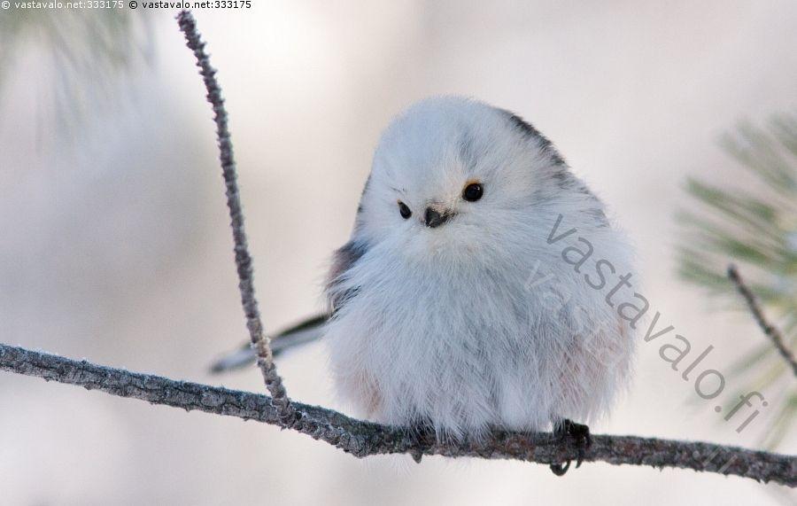 Pyrstötiainen talvipäivänä - pyrstötiainen aegithalos caudatus mänty oksa varpuslintu karvapallo kajo