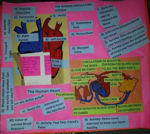 Interactive board on circulatory system | Christmas | Pinterest