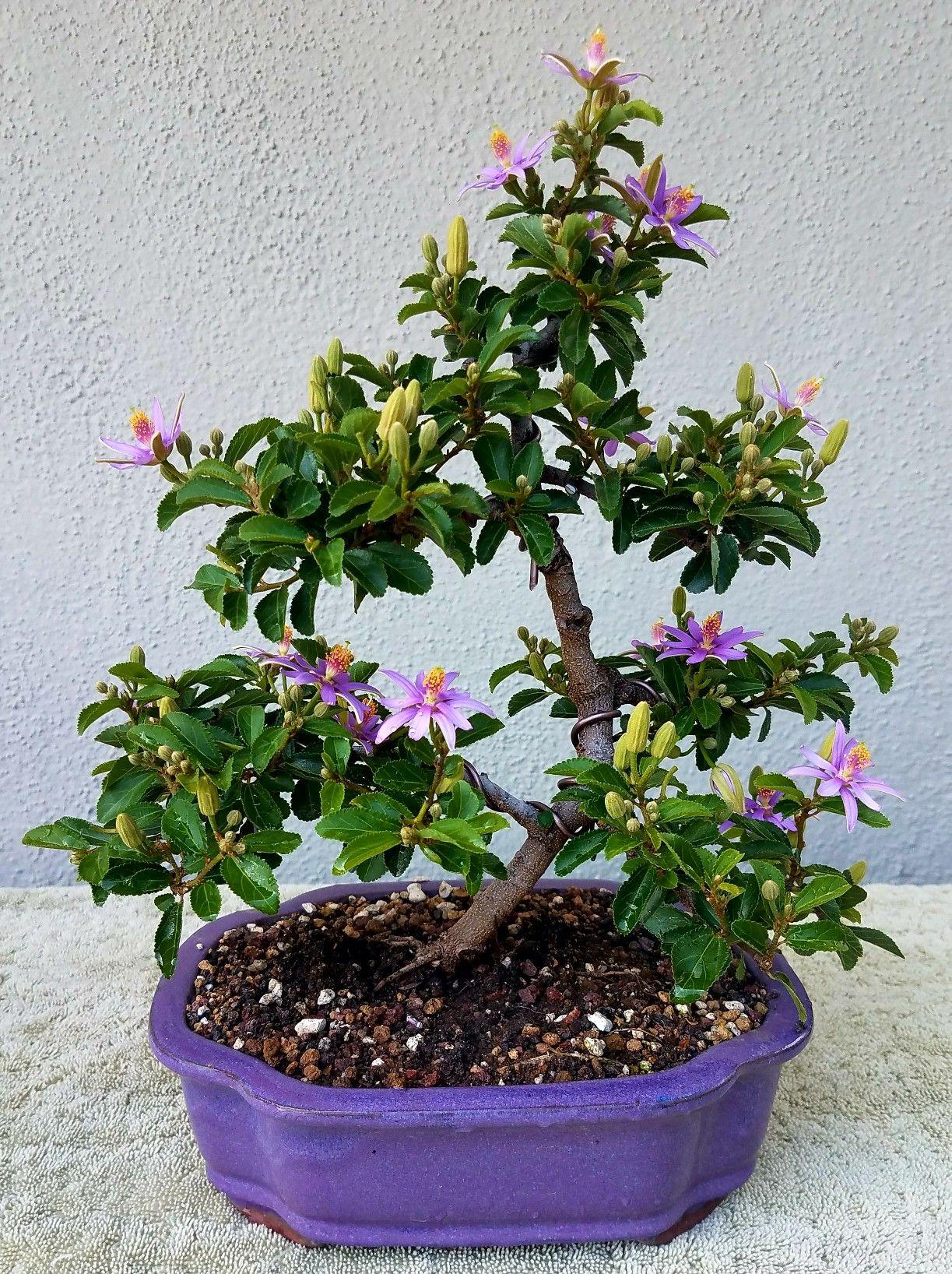 Picture 5 My Lavender Star Flower Pre Bonsai In Full Bloom 7 17 17 Pre Bonsai Star Flower Bonsai
