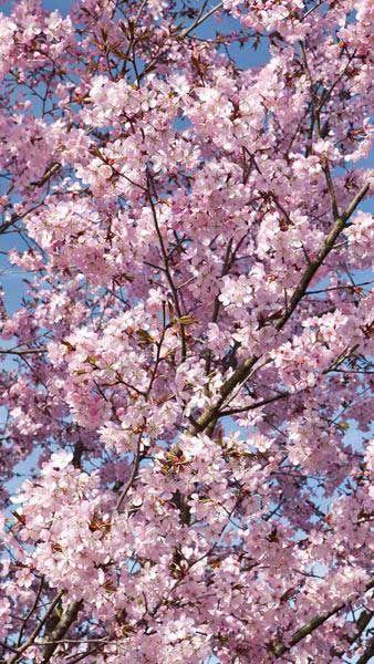 Prunus Sargentii Sargents Cherry Japanese Ornamental Cherry Ornamental Cherry Flowering Cherry Tree Tree Pruning