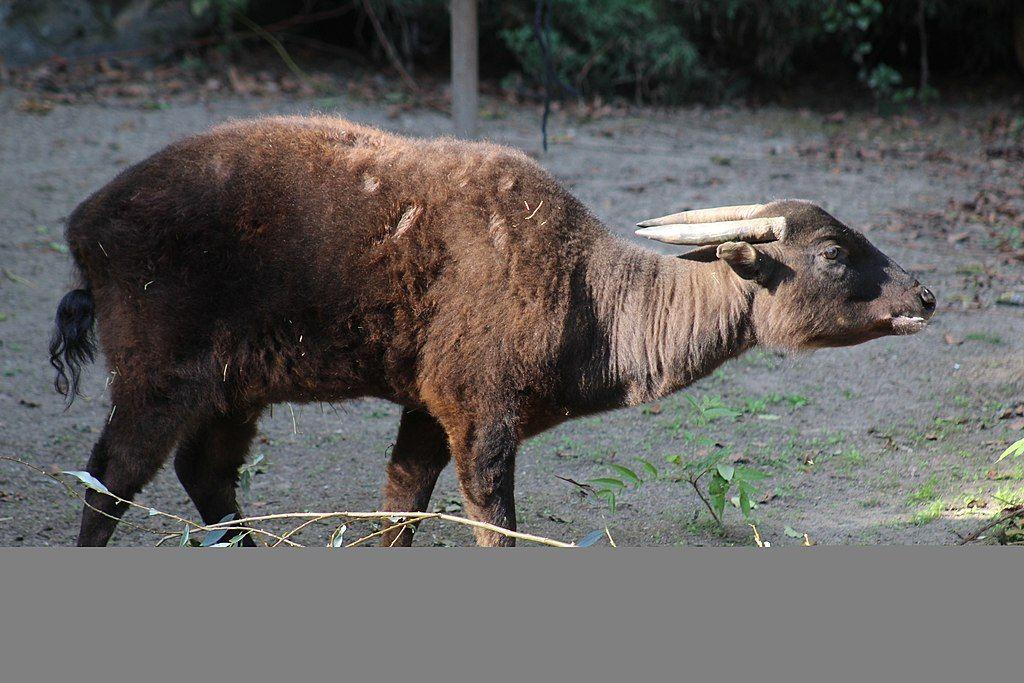 Mountain Anoa at Krefeld Zoo.jpg Herbivorous animals