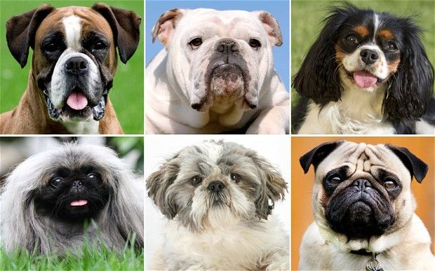 Ban Unhealthy Dog Breeds Say Vets Dog Breeds Dangerous Dogs