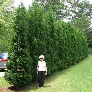 Ahh Natural Fence American Pillar Thuja Evergreen Tree Pools