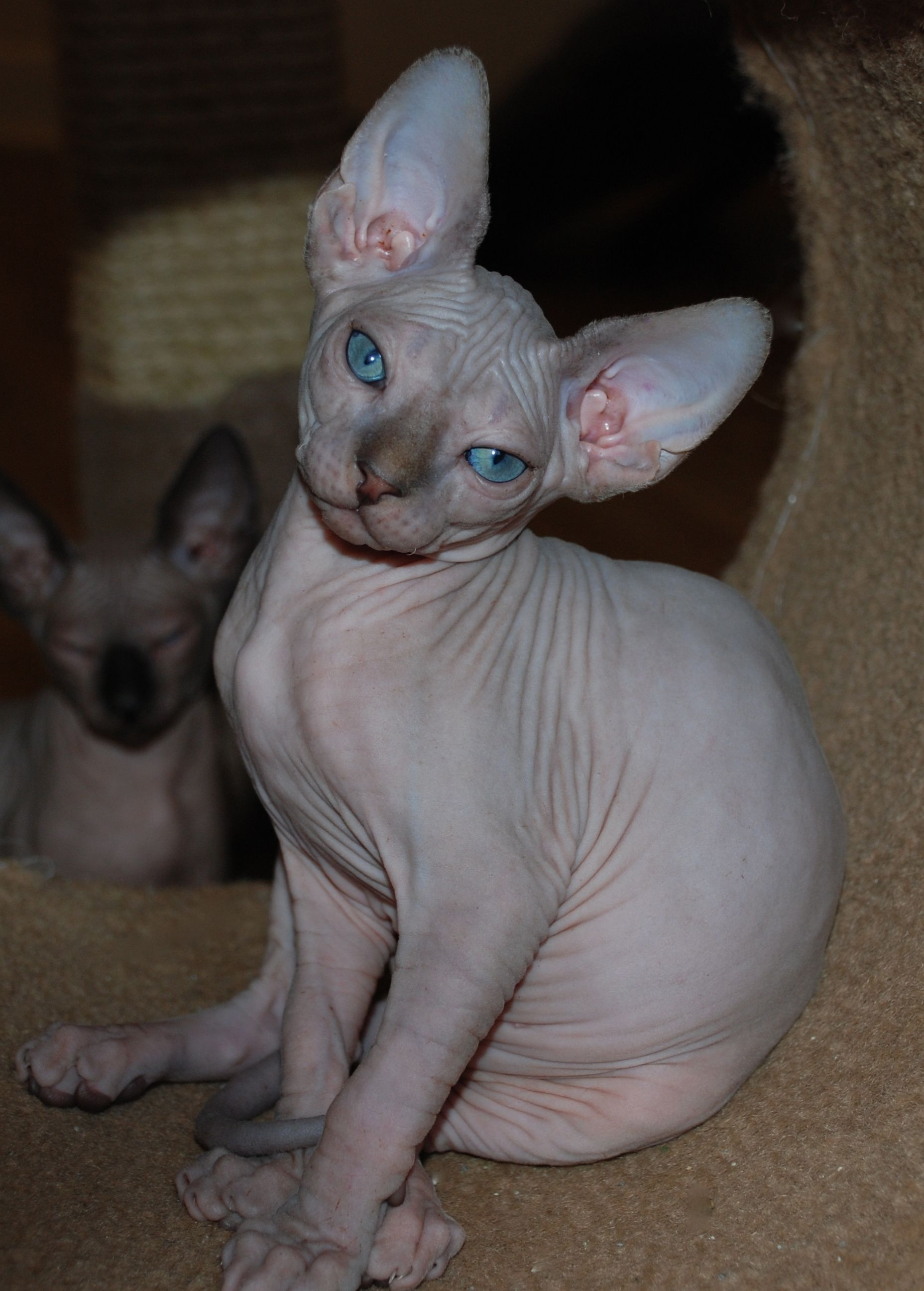 Sphynx Breeder Sphynx Pictures Hairless Cats Sphynx Cats N O C O A T K I T T Y Hairless Kitten Sphynx Cat Hairless Cat