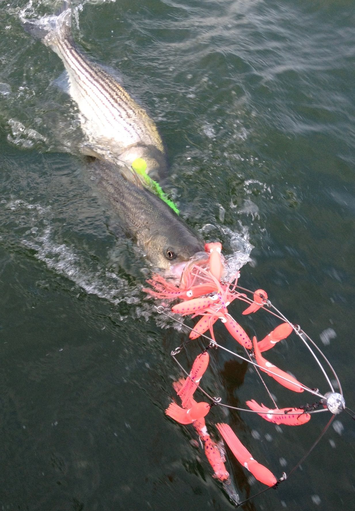 Fly fish striped bass