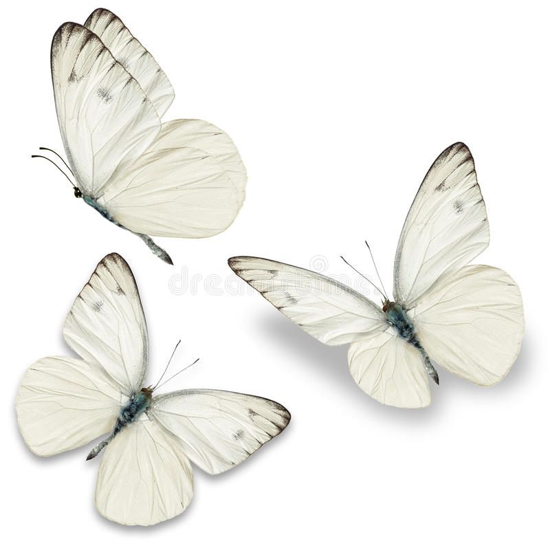 Photo of Three white butterfly stock image. Image of open, view – 54289125