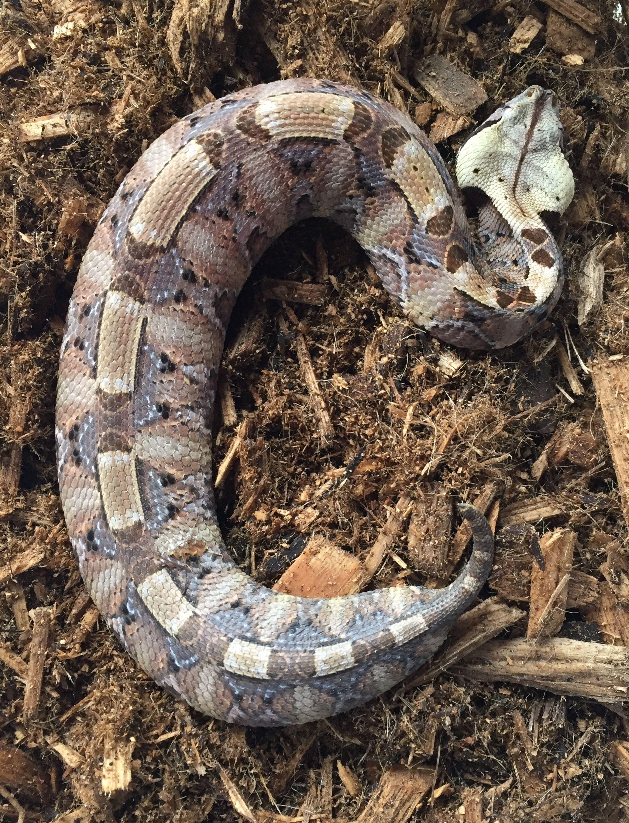West African Carpet Viper - Carpet Vidalondon