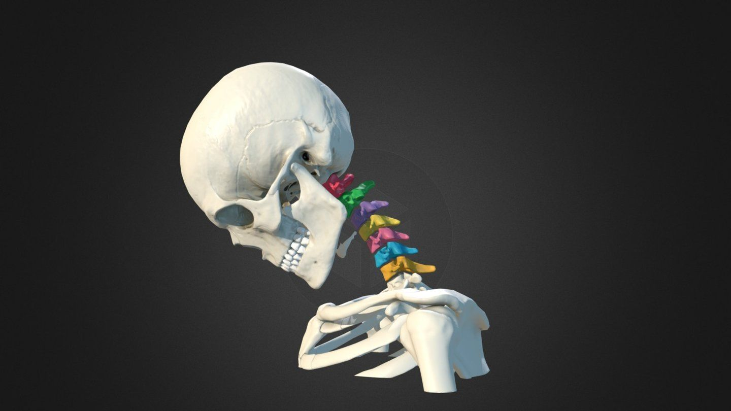 Cervical spine animation by Anatomy Next - 3D model (on sketchfab ...
