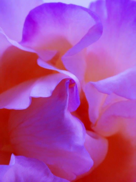 Flower Purple Red