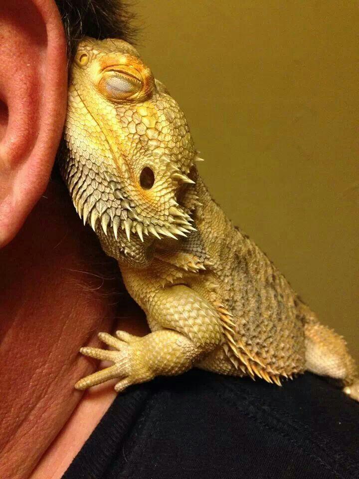 Bearded Dragon Cuddle : bearded, dragon, cuddle, Bearded, Dragon, Cuddling, Owner., Gives, Warmth, Cute,, Dragon,, Lizards
