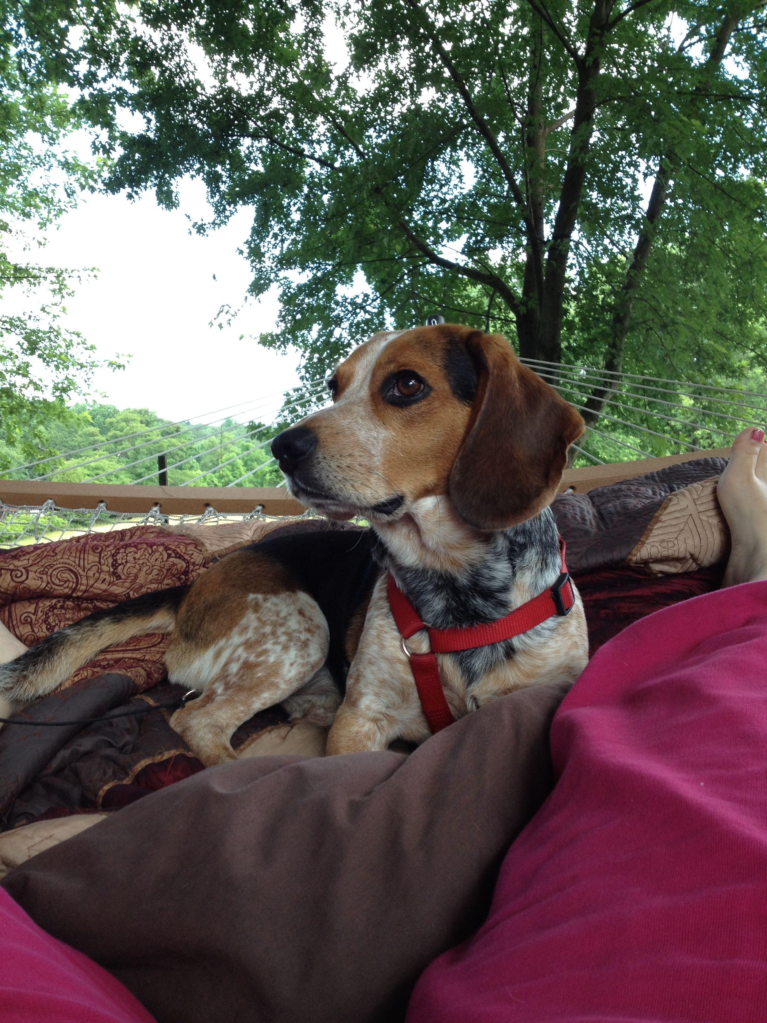 Bentley Blue Tick Beagle 3 Blue Tick Beagle Hound Dog Breeds