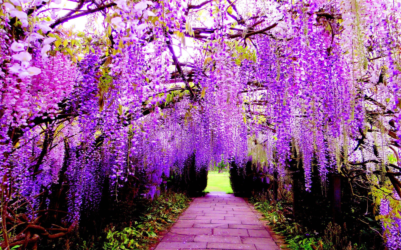 Wisteria The Most Beautiful Flower On Earth Ashikaga Flower Park
